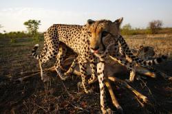 Jak dospívají gepardi