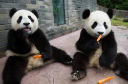 Pandí mláďata obrazok