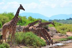 Žirafy: Zapomenutí obři
