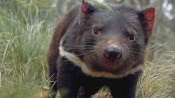 Tajný život tasmánských čertů obrazok