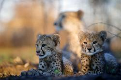 Jak dospívají gepardi obrazok