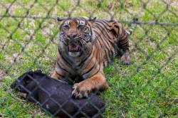 Poslední tygři sumaterští