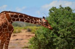 Žirafy: Zapomenutí obři obrazok