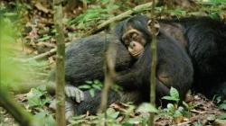 Šimpanz obrazok