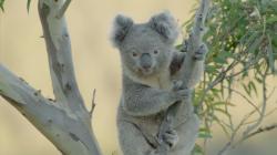 Tajný život koal